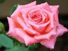 Все о розах - Садовые растения и цветы