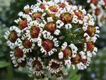 Виды молочаев - Комнатные растения и цветы