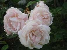 Гибрид розы Ругозы