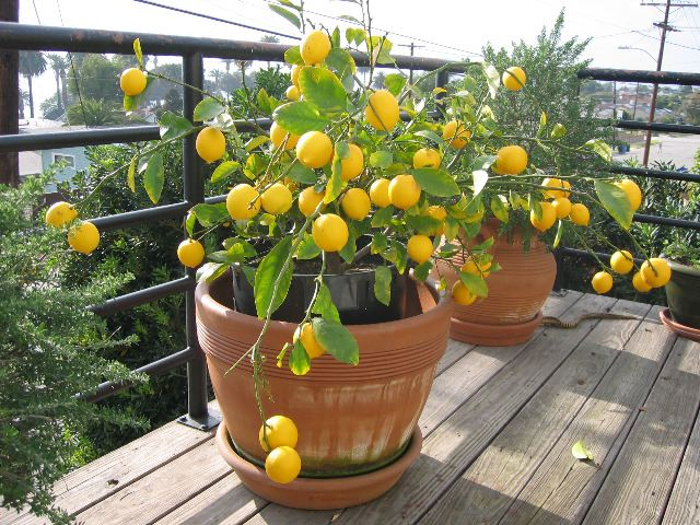 Уход за лимонником в домашних условиях