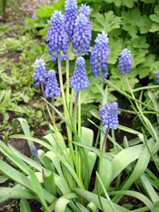 http://www.florets.ru/_upload/articles/Muscari-03.jpg