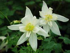 Aquilegia white star