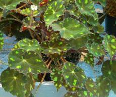 Бегонии декоративнолистные - Комнатные растения и цветы