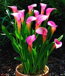 Горшечные цветы калы купить курьерские службы москвы доставка цветов подарков