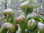 Дарлингтония калифорнийская - Насекомоядные растения