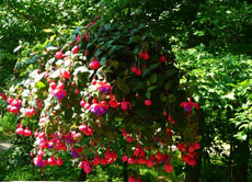Уход за фуксией, содержание в домашних условиях - Комнатные растения и цветы