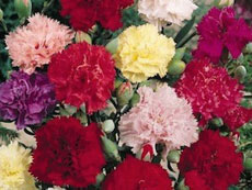 Гвоздика садовая Шабо - Садовые цветы и растения