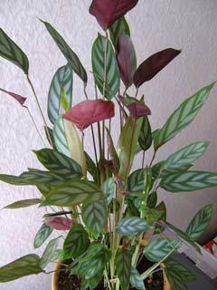 Ктенанта цветок
