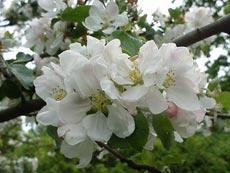 Яблоня - как символ вечной молодости