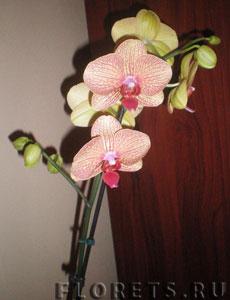 Как правильно выбрать орхидею Фаленопсис