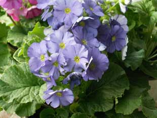 Цветы примулы