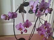 Опали цветы у орхидеи