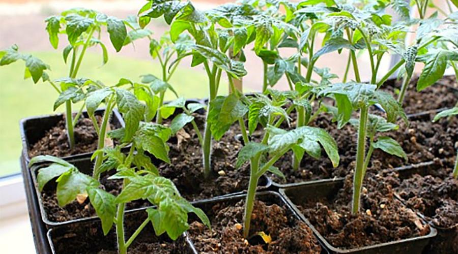 Семена или рассада? С чего лучше начать выращивание овощей.