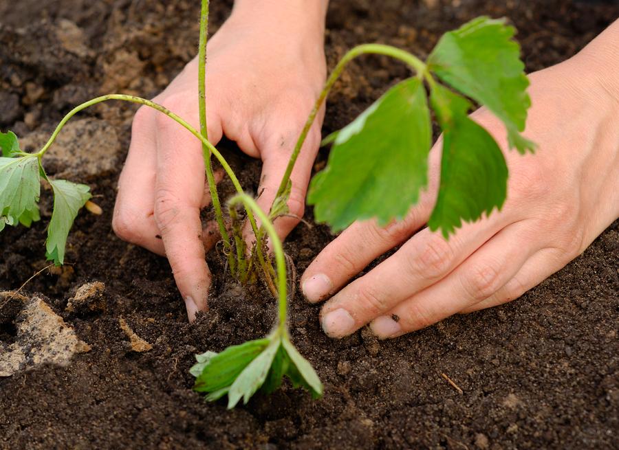 Уход за клубникой: ТОП 10 советов для богатого урожая
