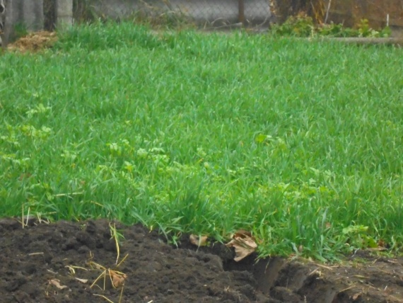 Сидераты на моём огороде