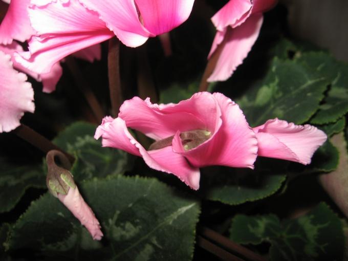 Цикламен. В период цветения