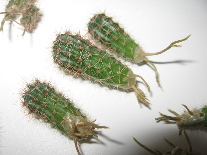 Упавшие детки кактуса