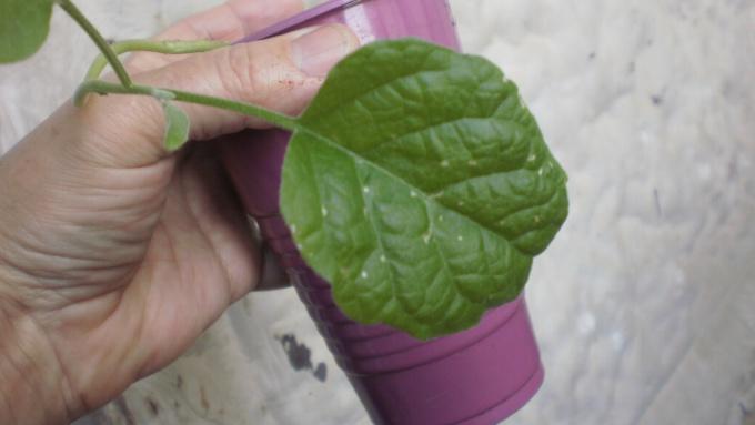 Поврежденный листок