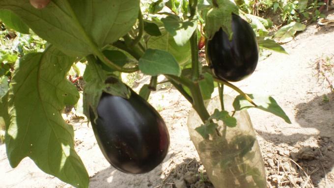 Баклажаны плодоносят
