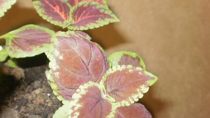 Вишневые листья с зеленой окантовкой