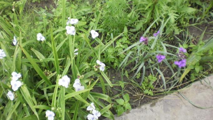Традесканция садовая: как правильно выбрать место посадки и как ухаживать