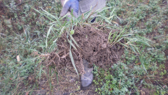 Кусок почвы с пыреем